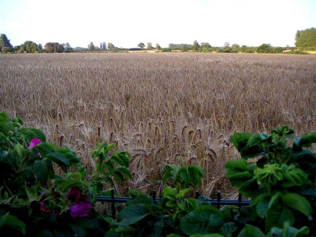 Blick aus dem Garten auf reifes Kornfeld im Sommer